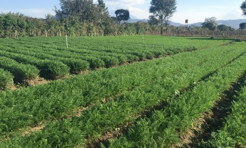 Carrots Farm Guatemala