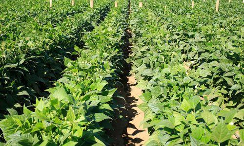 Green Beans Farm Guatemala