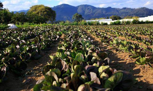 Treviso Farm Guatemala